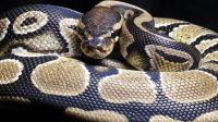 Espèce de primates : le serpent