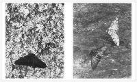Espèce de primates : la phalène du bouleau