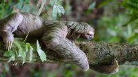 Espèce de primates : la paresse