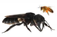 Espèce de primates : l'abeille géante de Wallace